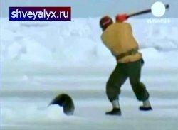Убийство детёныша морского котика ради меха